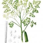 Habit of the moringa plant